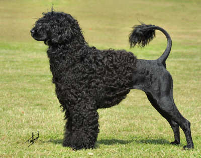 portuguese_water_dog_9r023d-128
